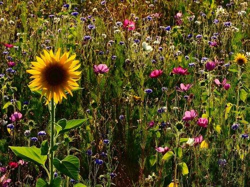 flowers  meadow  sunflower