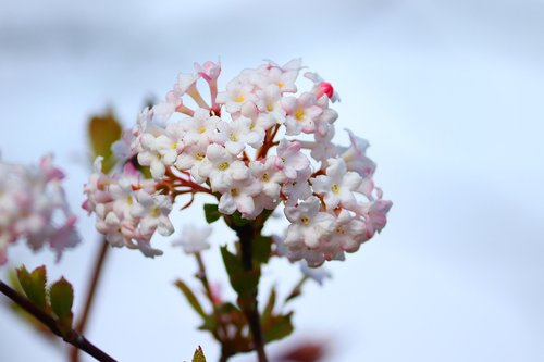 flowers  snow ball  viburnum