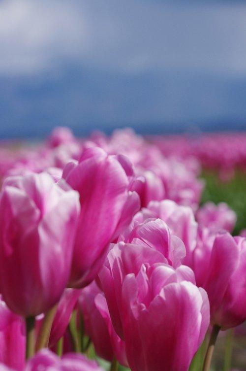 flowers  tulips  purple