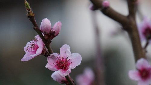 flowers  peach blossom  pink