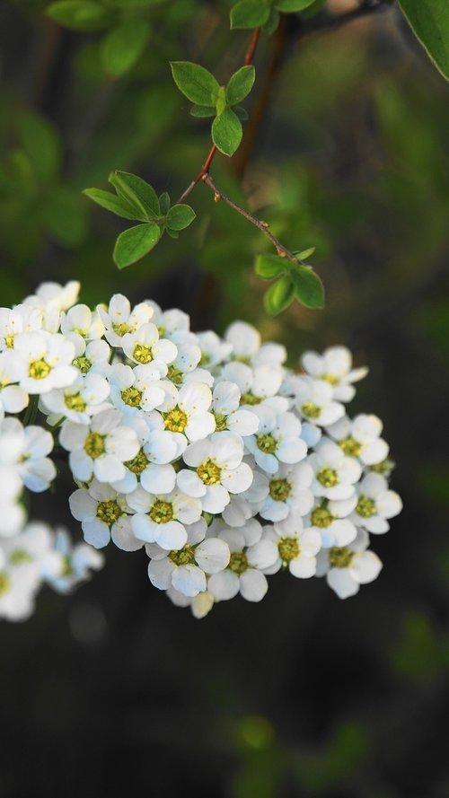 flowers  bush  spring