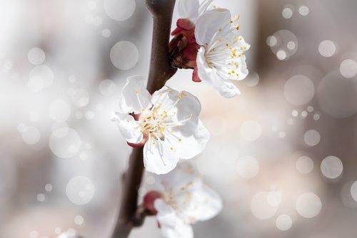 flowers  white  branch