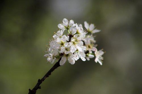 flowers  flowering twig  white
