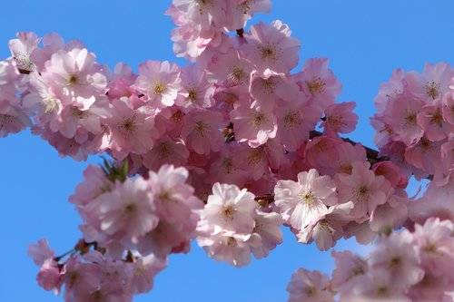 flowers  cherry blossom  pink
