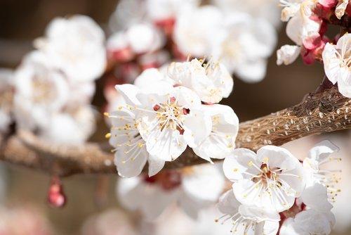 flowers  white  spring