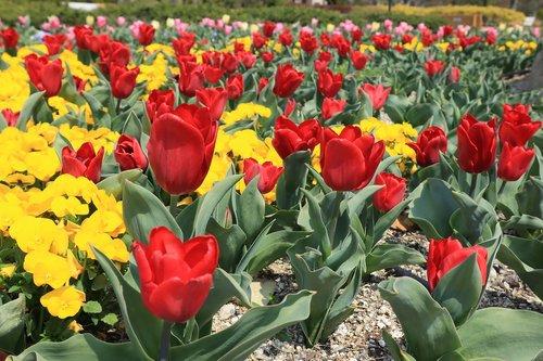 flowers  flower bed  tulip