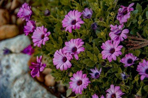 flowers  zinnias  spring