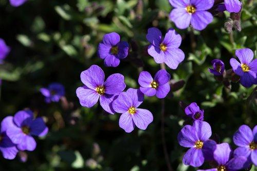 flowers  plant  violet
