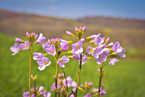 flowers  cuckoo flower  nature