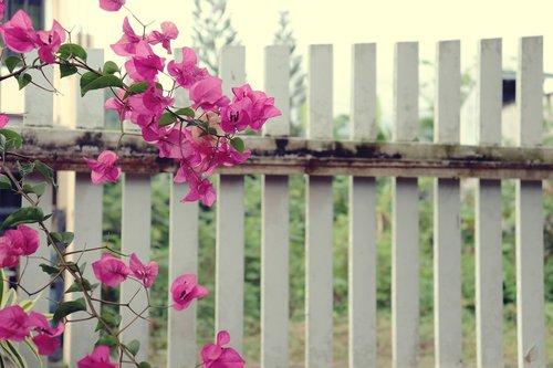 flowers  bougainvillea  fence