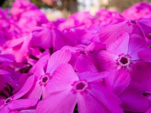 flowers  phlox  spring
