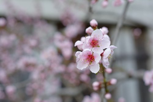 flowers  pale pink  nectarine
