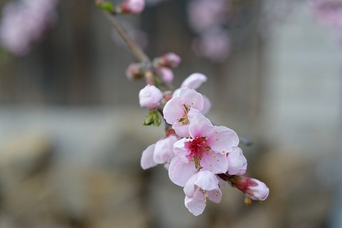 flowers  pale pink  nectarine