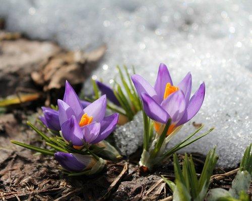 flowers  snow  spring