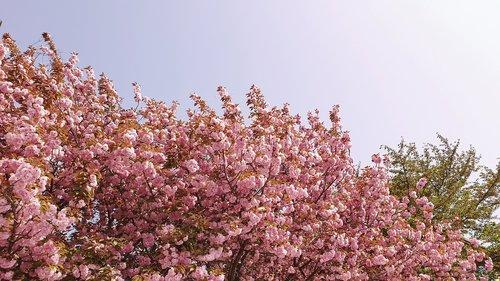 flowers  cherry blossom  cherry flowers