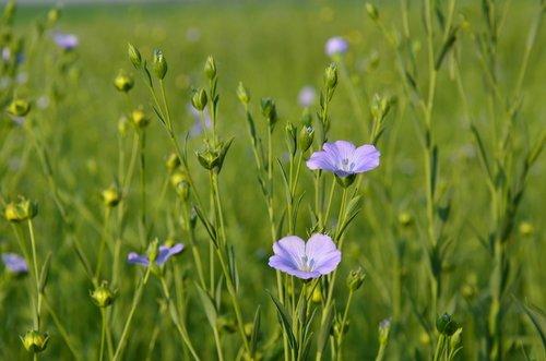 flowers  linen flower  field