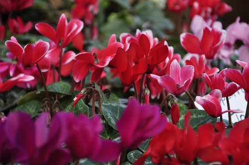 flowers  cyclamen  red