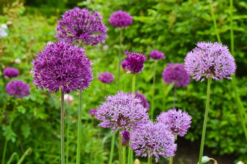 flowers  ornamental onion  plant