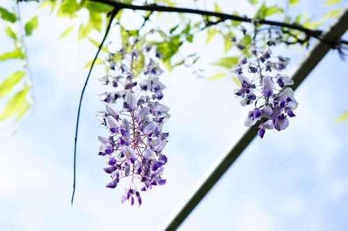 flowers  wisteria  natural