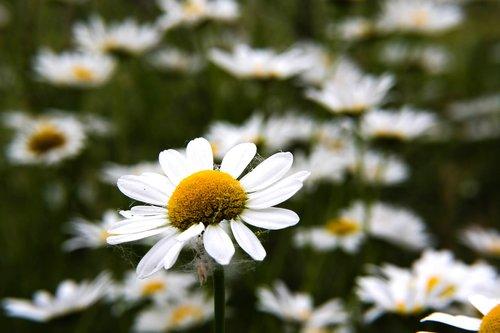 flowers  daisy  ox-eye daisy