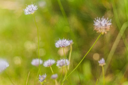 flowers pink grass
