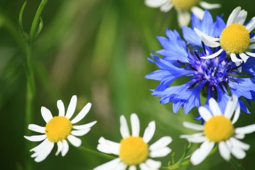 flowers,blue,white,wildflowers