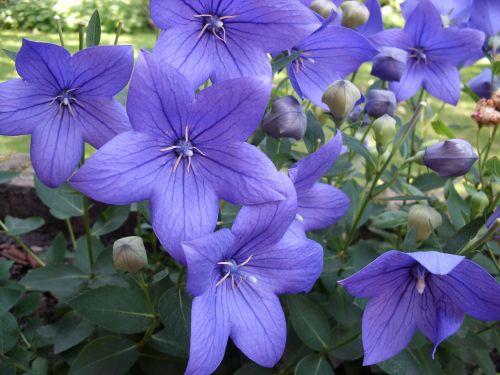 flowers,purple,platycodon,ballonklokje