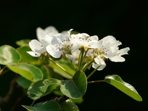 flowers white pear