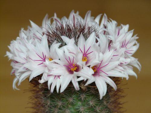 flowers cactus white