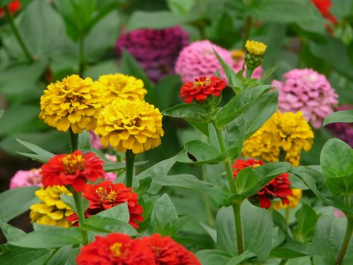 flowers colorful zinnia