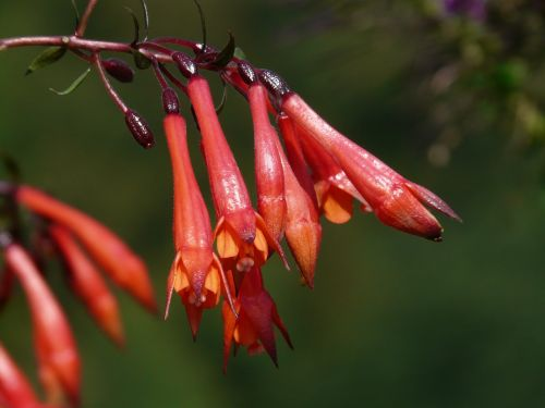 flowers fuchsia red