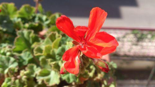 flowers geranium red flower