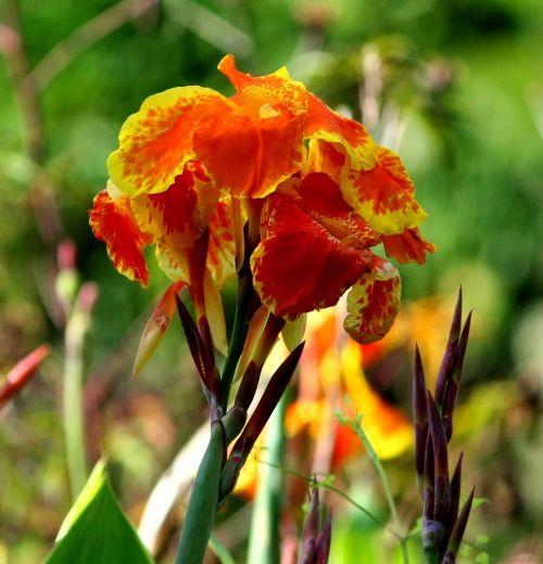 canna lily flowers orange