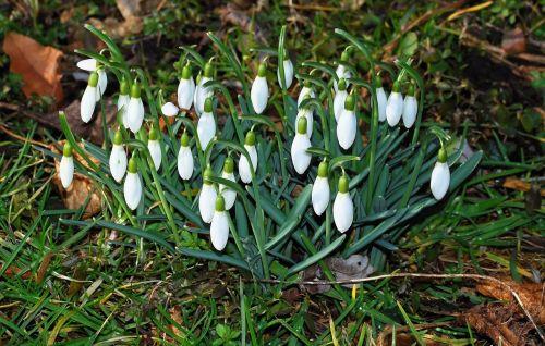 flowers snowdrop spring