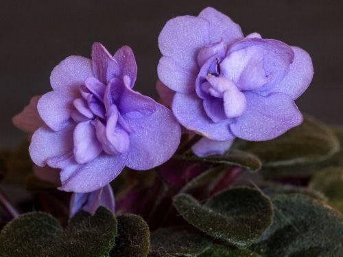flowers macro cyclamen