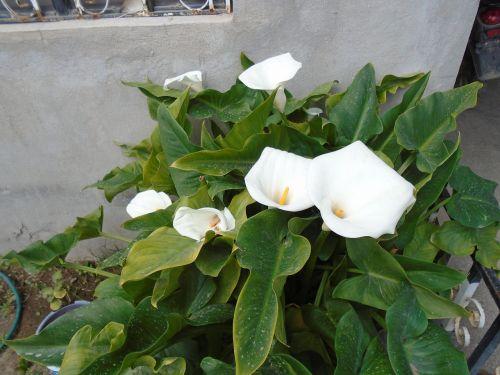 flowers alcatraz whiteness