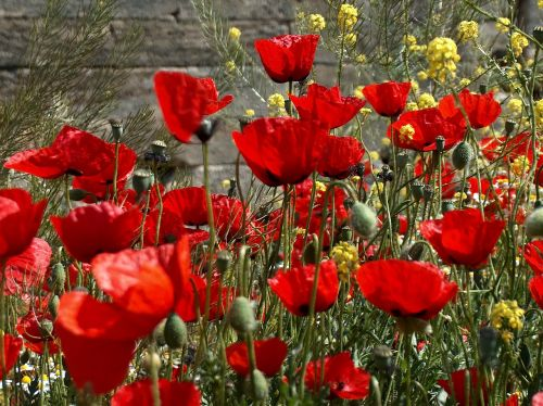 flowers poppies rossi