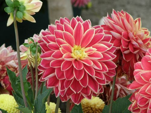 flowers dahlia horticulture