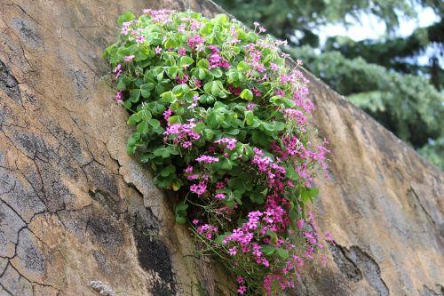 gėlės,siena,dobilas