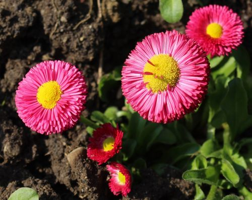 gėlės,Daisy,bellis filosofija,Uždaryti,parkas,gražus