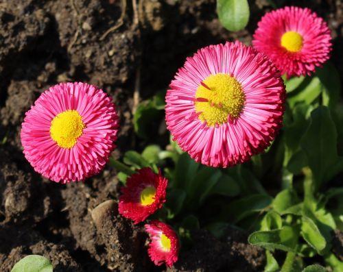 flowers daisy bellis philosophy