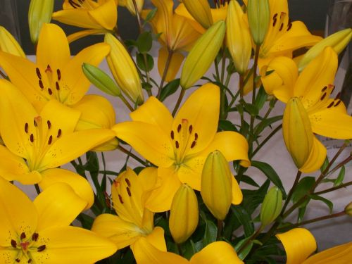 flowers lilies yellow