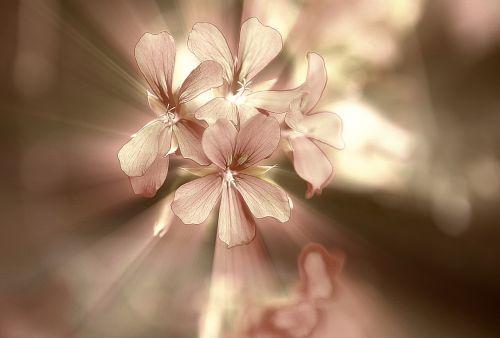 flowers a small bunch geranium