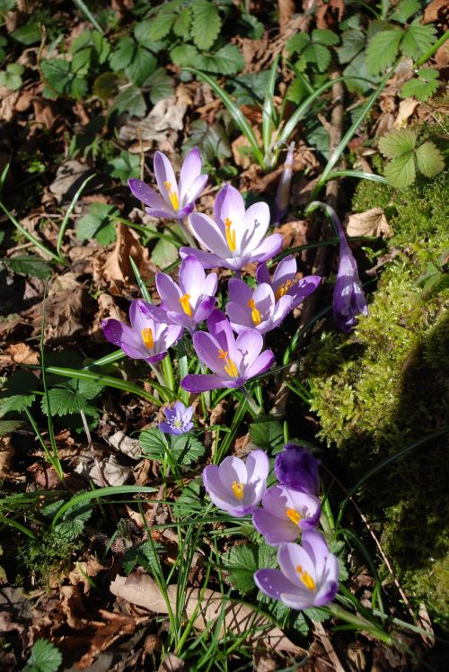 flowers crocus violet