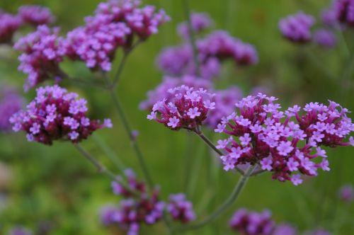 flowers verbena violet