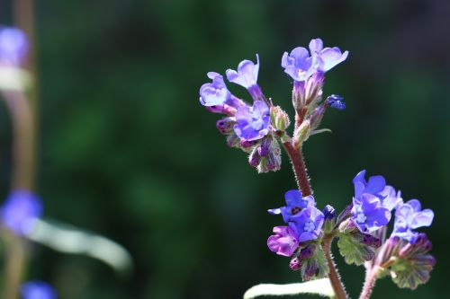 flowers persian speedwell