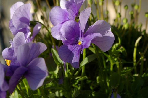flowers violets shy