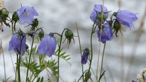 flowers bluebells petite bellflower