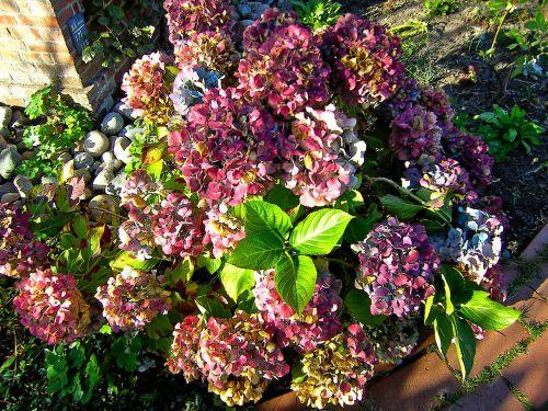 flowers garden hydrangeas