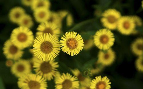 flowers their mums yellow flower